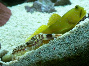 Tiger Pistol Shrimp (Alpheus bellulus) with watchman goby (Cryptocentrus cinctus)