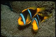 two bar anemonefish