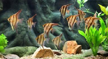 Angelfish Aquarium Car...