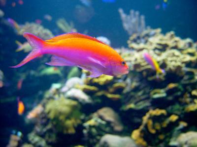 Image gallery pink anthias for Pink saltwater fish