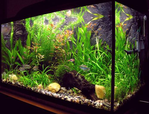 beautiful planted aquarium with rasboras and gouramis