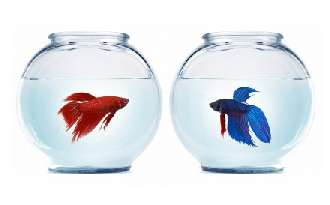 betta splendens in fishbowls