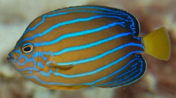 blue line angelfish (Chaetodontoplus_septentrionalis)