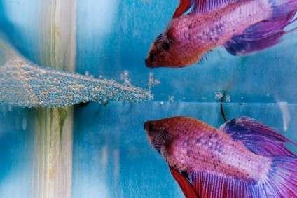 Breeding bettas siamese fighting fish for Betta fish mating