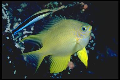 cleaner wrasse near a golden damselfish