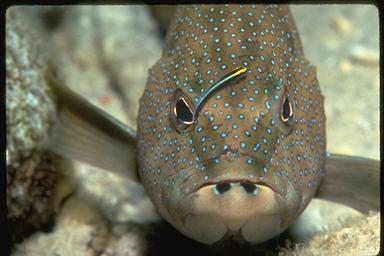 goby cleaning a coney grouper