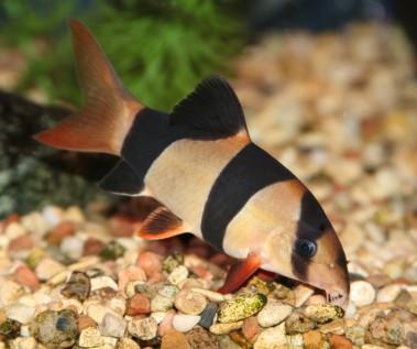 Clown Loach Aquarium Care