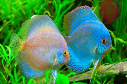 Colorful Freshwater Fish on Colorful Freshwater Fish Species   Hawaii Dermatology