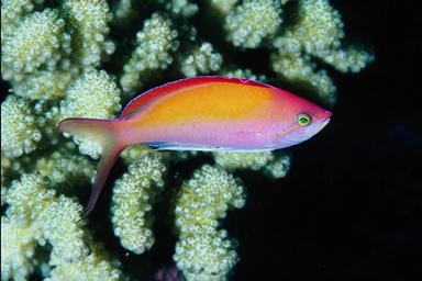 dispar anthias (Pseudoanthias dispar)