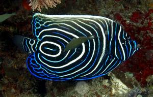 external image emperor-angelfish-juvenile.jpg