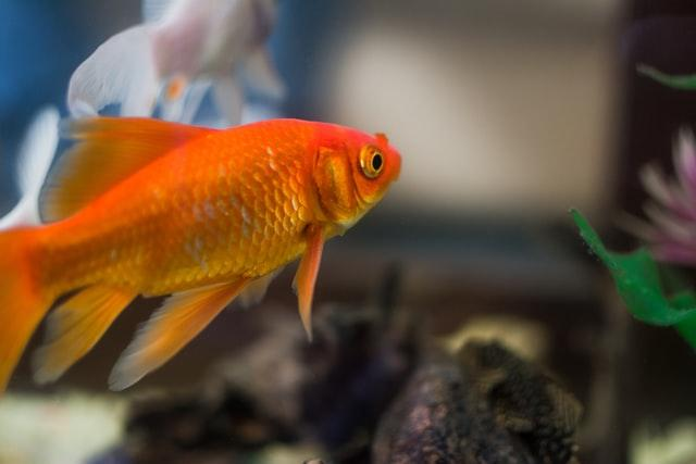 comet goldfish in aquarium