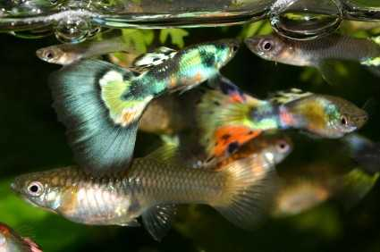 how to take care of baby molly fish