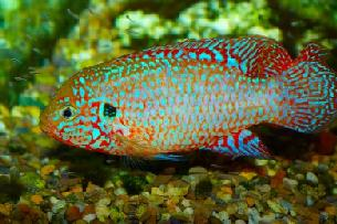 jewel cichlid and fry