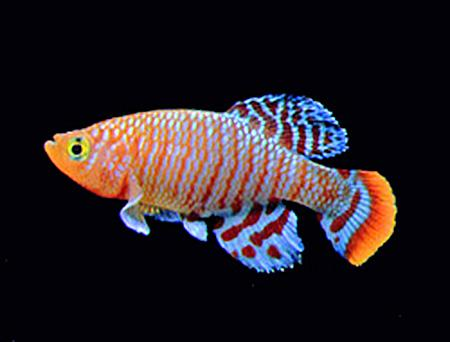 ... ) belongs to a group of fish collectively referred toas killifish