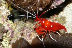 Fire Shrimp  Lysmata debelius  Saltwater Shrimp Species