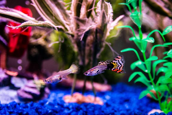 male and female guppies in planted aquarium