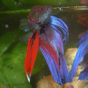 close up front view of blue male betta splendens