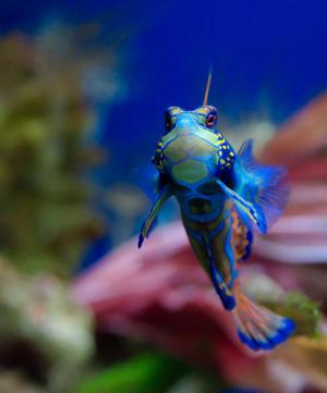mandarin fish frontal view