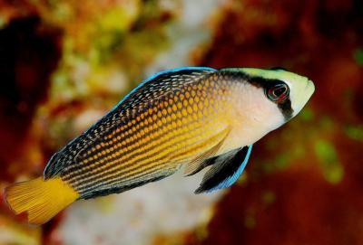 The splendid dottyback ( Pseudochromis splendens also Manonichthys ...