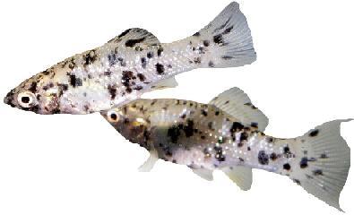 Sex molly fish