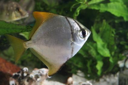 monos monodactylus argenteus fingerfish
