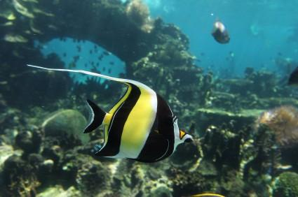 Moorish Idol, Banner Fish
