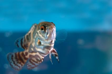 Salvini besides Discus furthermore Oscar likewise Having A Fish Tank Is Supposed To Be About Stress Relief together with Astronotus Ocellatus Oscar Fish. on oscar family cichlids fish