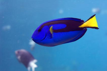 pacific blue tang  Regal Tang (Pacific Blue Tang,