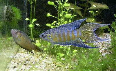 male and female paradise fish in aquarium