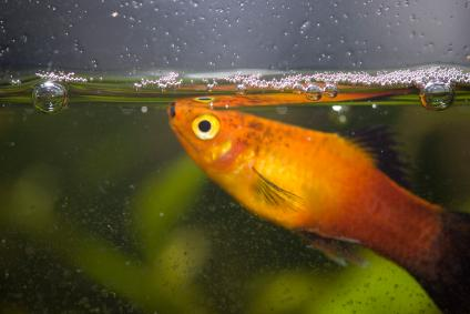 female orange platy in aquarium