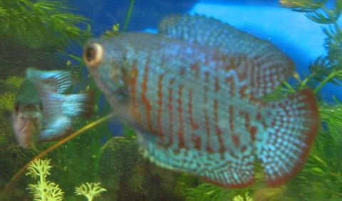 pop-eye in blue dwarf gourami