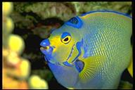 queen angelfish closeup