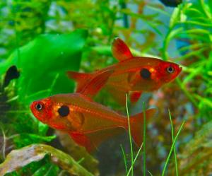 Red phantom tetra megalamphodus sweglesi for Large peaceful community fish