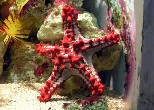 red knobbed starfish (Protoreaster linckii)