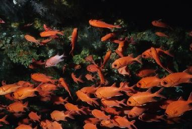 group of soldierfish