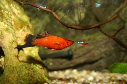 Swordtails for How long do fish stay pregnant