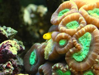 yellow clown goby resting in coral