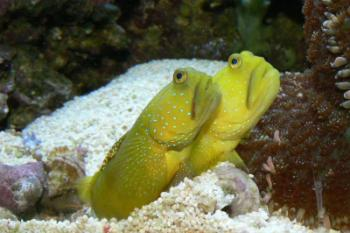 Watchman goby cryptocentrus cinctus yellow prawn goby for Saltwater goby fish