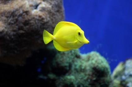 yellow tang in aquarium